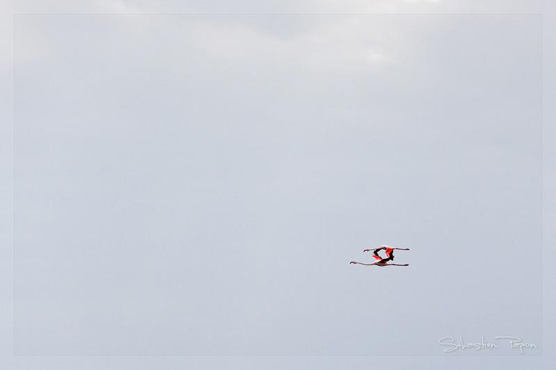 Flamants en vol