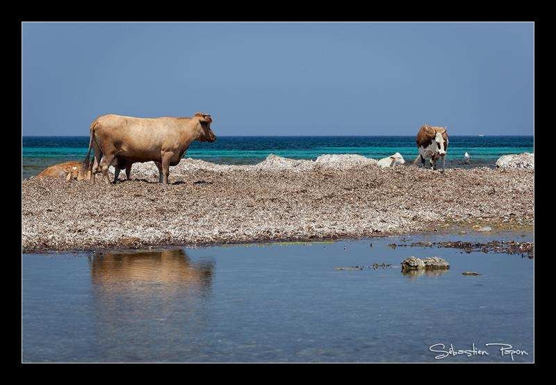 Vaches Corses
