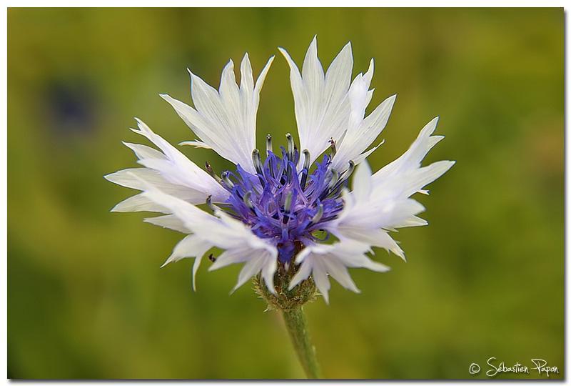 Bleuet Blanc