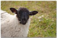 Sheep 01