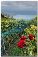 Roses de vignes