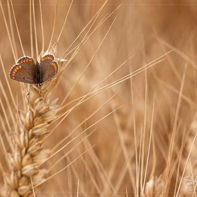 Azuré femelle