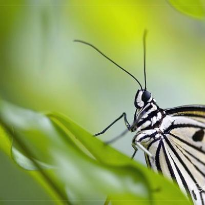 Papillon 04
